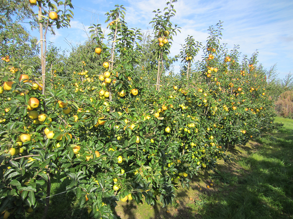 opal apple uk orchard